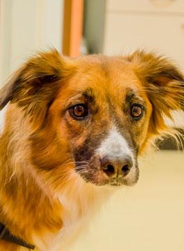 Close up van een bruine hond bij Dierenarts Arnhem